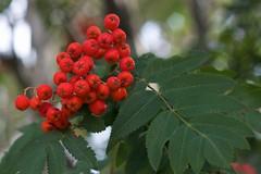 shrub(0.0), berry(0.0), flower(0.0), branch(0.0), crataegus pinnatifida(0.0), produce(0.0), food(0.0), evergreen(1.0), leaf(1.0), tree(1.0), red(1.0), plant(1.0), flora(1.0), fruit(1.0), rowan(1.0), hawthorn(1.0),