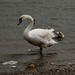 Small photo of Swan in Loughrea