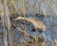 snipe(0.0), wetland(1.0), swamp(1.0), animal(1.0), fauna(1.0), bittern(1.0), shorebird(1.0), marsh(1.0), bird(1.0), wildlife(1.0),
