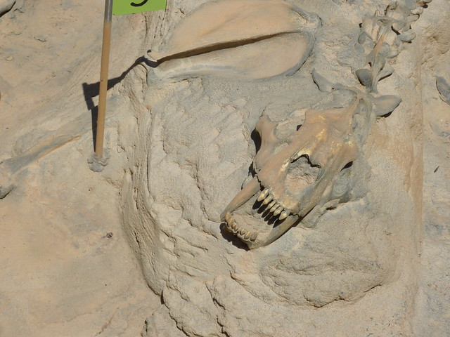 Sabre Tooth Tiger Fossil Flickr Photo Sharing