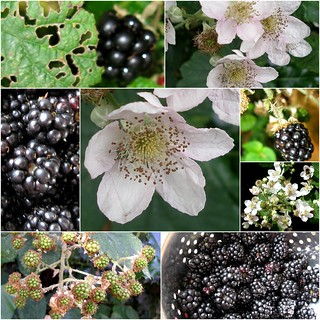 Mosaic Monday - Blackberries