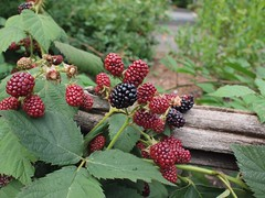 shrub(0.0), flower(0.0), plant(0.0), crataegus pinnatifida(0.0), produce(0.0), food(0.0), schisandra(0.0), blackberry(1.0), evergreen(1.0), tayberry(1.0), berry(1.0), leaf(1.0), red mulberry(1.0), wine raspberry(1.0), flora(1.0), loganberry(1.0), fruit(1.0), boysenberry(1.0), dewberry(1.0), mulberry(1.0),