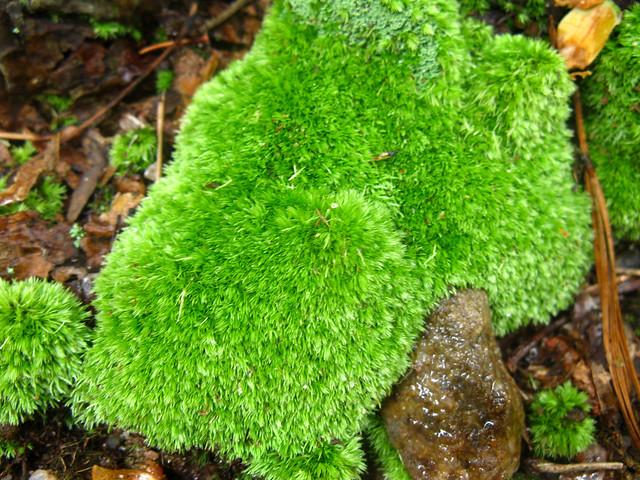 Leucobryaceae : Leucobryum glaucum - Pincushion Moss ...