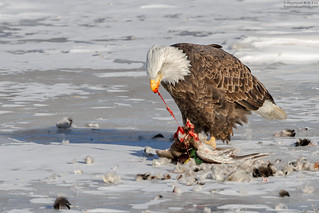 Bald Eagle Feeding on a Mallard