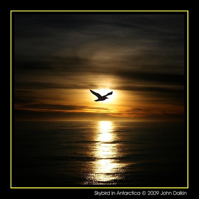 Skybird in  Antarctica