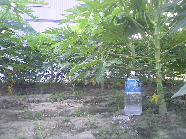 初心者の挑戦するパパイヤ栽培papaya20090812_2