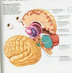 ear, illustration, brain, eye, organ,