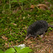 American Shrew-mole - Photo (c) Sarah Caufield, some rights reserved (CC BY-NC-SA)