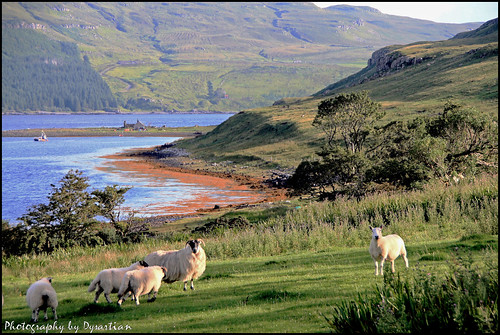 Skye Trip - Sheep at Loch Eynort