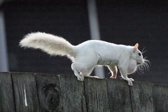 White (Albino) Squirrel