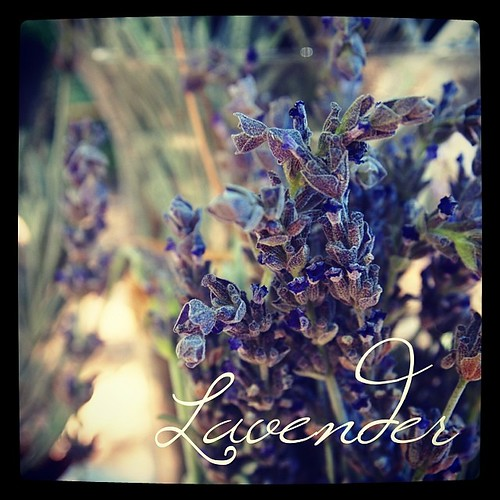 Garden Alphabet: Lavender | A Gardener's Notebook with Douglas E. Welch