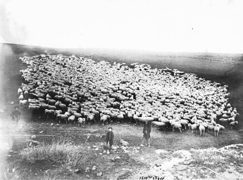 1500 sheep in Sherman County, Oregon