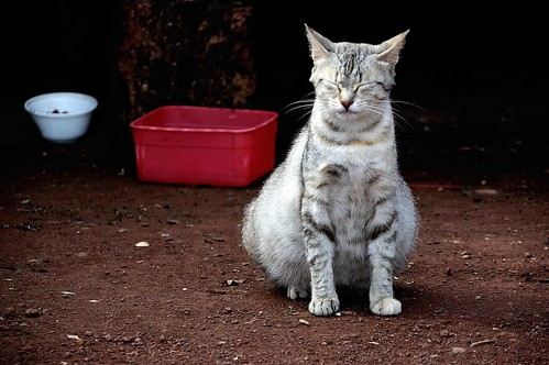 How Long Does False Pregnancy In Cats Last