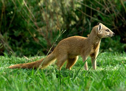 Yellow mongoose (Cynictis penicillata) Witkwas Muishond