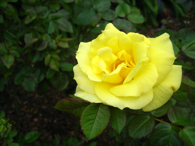 yellow rose for texas blog