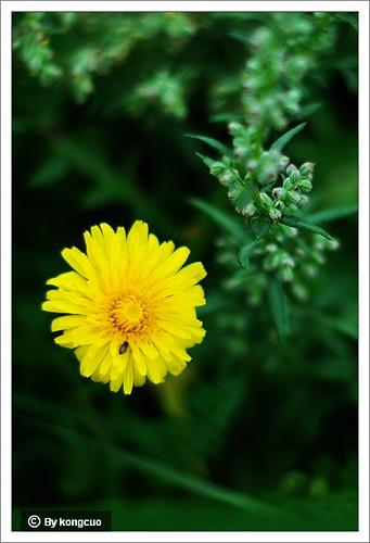 内蒙古植物照片-苦苣菜,菊科苦苣菜属