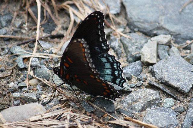 Red-Spotted Purple butterfly side | Flickr - Photo Sharing!