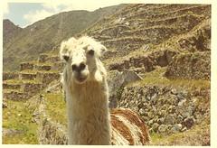 arabian camel(0.0), alpaca(1.0), animal(1.0), llama(1.0), fauna(1.0), vicuã±a(1.0), camel-like mammal(1.0), pasture(1.0),