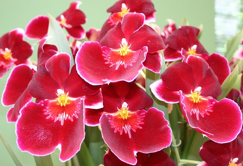 Beautiful red orchids with yellow hearts