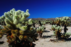 Cholla cactus have nasty barbed spines