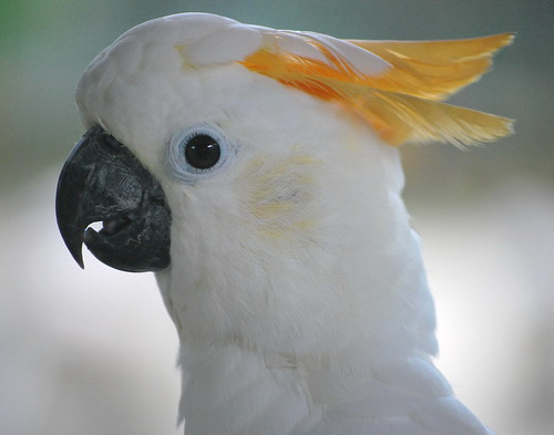 Cuckatoo or Kakatua