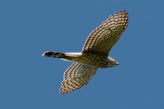 harrier(1.0), animal(1.0), hawk(1.0), bird of prey(1.0), wing(1.0), fauna(1.0), buzzard(1.0), accipitriformes(1.0), beak(1.0), bird(1.0), flight(1.0),