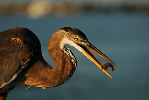food bird heron nature animal closeup outside outdoors colorful looking natural feeding florida eating wildlife watching shrimp baitshop sarasota curious waterfowl staring chomp bait greatblueheron avian potofgold sarasotabay gbh wadingbird ineedajob hartslanding freshwaterbird michaelskelton michaeldskelton michaeldskeltonphotography