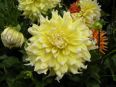 annual plant, dahlia, flower, yellow, flora, petal,