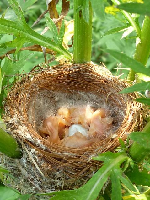 american goldfinch nest - photo #3