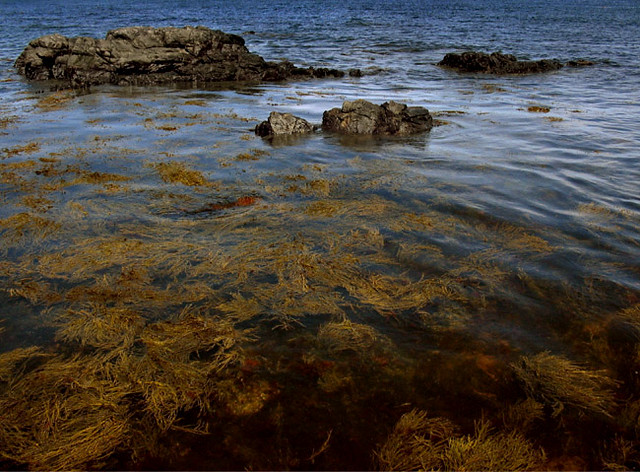 seaweed in Damariscotta, Maine (2005)