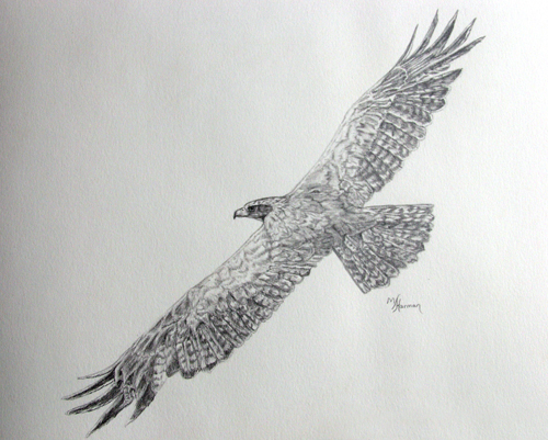 pictures of flying eagle drawings in pencil www