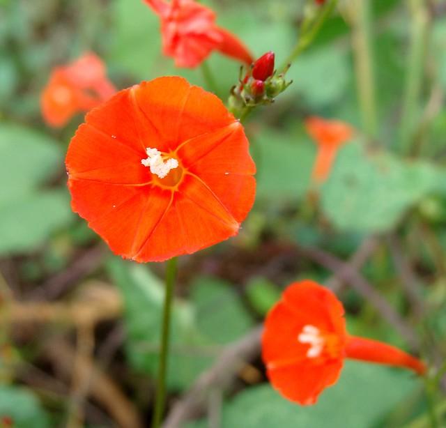 Good Morning Orange Flowers : Small orange morning glory flowers a photo on flickriver