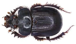 Ceratophyus hoffmannseggi Fairmaire, 1856  female