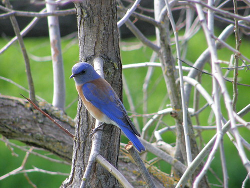 california blue wild bird nature animal wildlife wing bluebird avian westernbluebird feater thewonderfulworldofbirds photocontesttnc09 dailynaturetnc09 birdsnw09