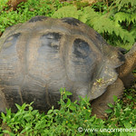 Santa Cruz Giant Tortoise - Galapagos Islands