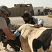 Military Veterinarians tend to animals for Afghan farmers