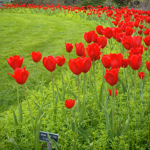 flowers ohio red gardens spring tulips display may redcarpet kingwoodcenter 2011 kingsblood mansfiled