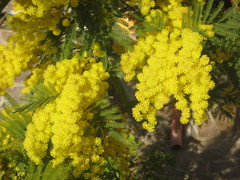 blossom(0.0), produce(0.0), food(0.0), evergreen(1.0), shrub(1.0), flower(1.0), yellow(1.0), tree(1.0), plant(1.0), mimosa(1.0), subshrub(1.0), flora(1.0),