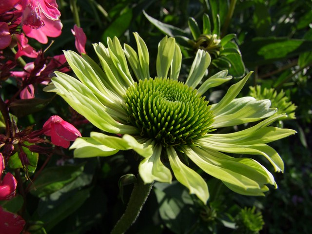 echinacea green envy flickr photo sharing. Black Bedroom Furniture Sets. Home Design Ideas