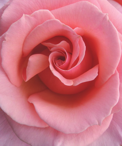 perfect roses - a gallery on Flickr