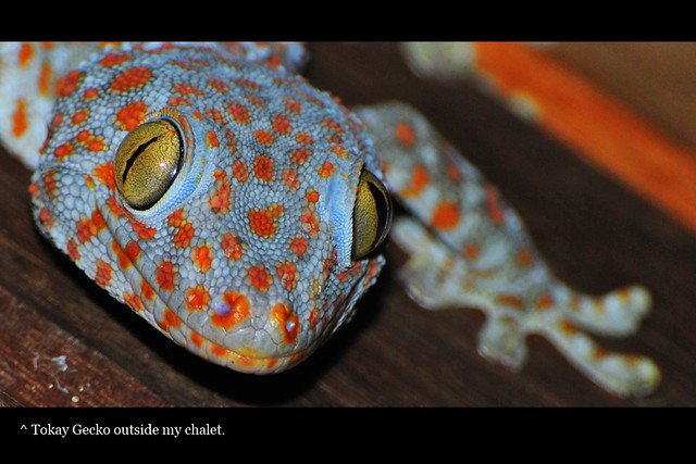 Tokay Gecko just outside my chalet