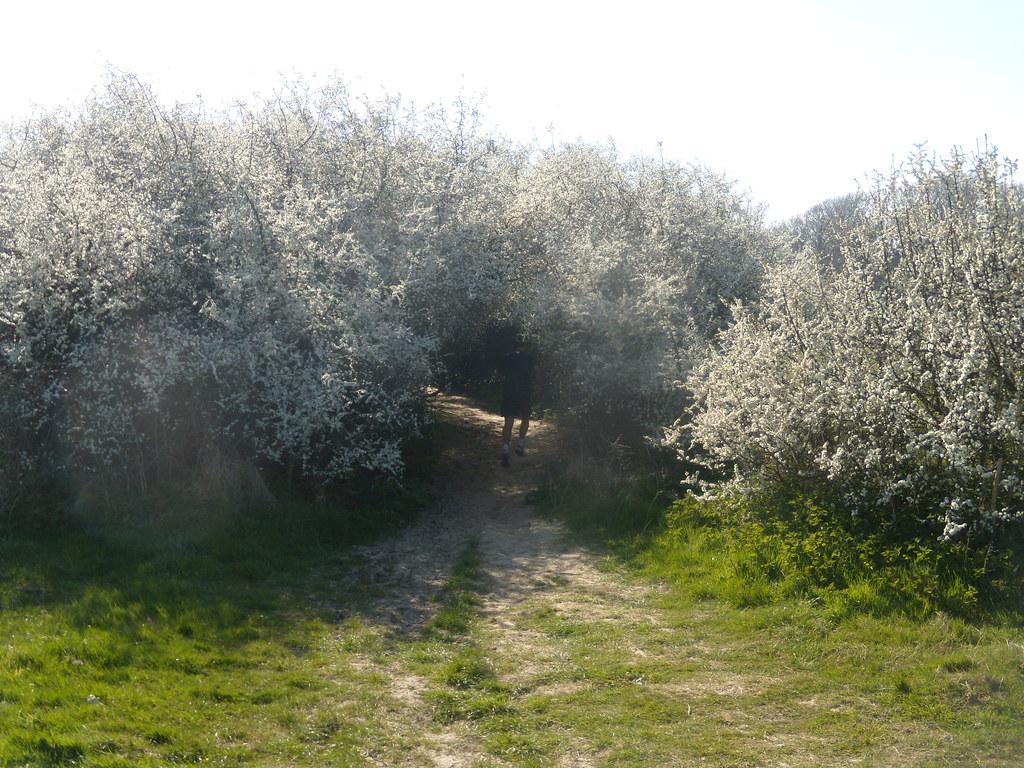 Through blackthorn In flower. Rye to Hastings
