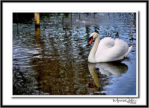 galicia estanque cisne acoruña betanzos nikond60 rubéndarío platinumheartaward marisagabín opasatempo