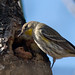 Yellow-rumped Warbler eating pecan