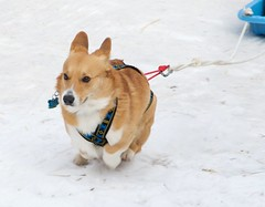 street dog(0.0), norwegian lundehund(0.0), welsh corgi(0.0), dog breed(1.0), animal(1.0), puppy(1.0), dog(1.0), shiba inu(1.0), pet(1.0), mammal(1.0),