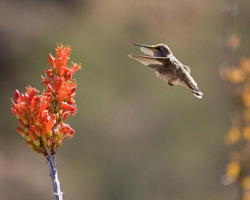 park arizona flower bird hummingbird desert scottsdale mcdowell ocatillo mcdowellsonoranpreserve