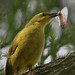 Yellow Honeyeater with moth by Greg Miles