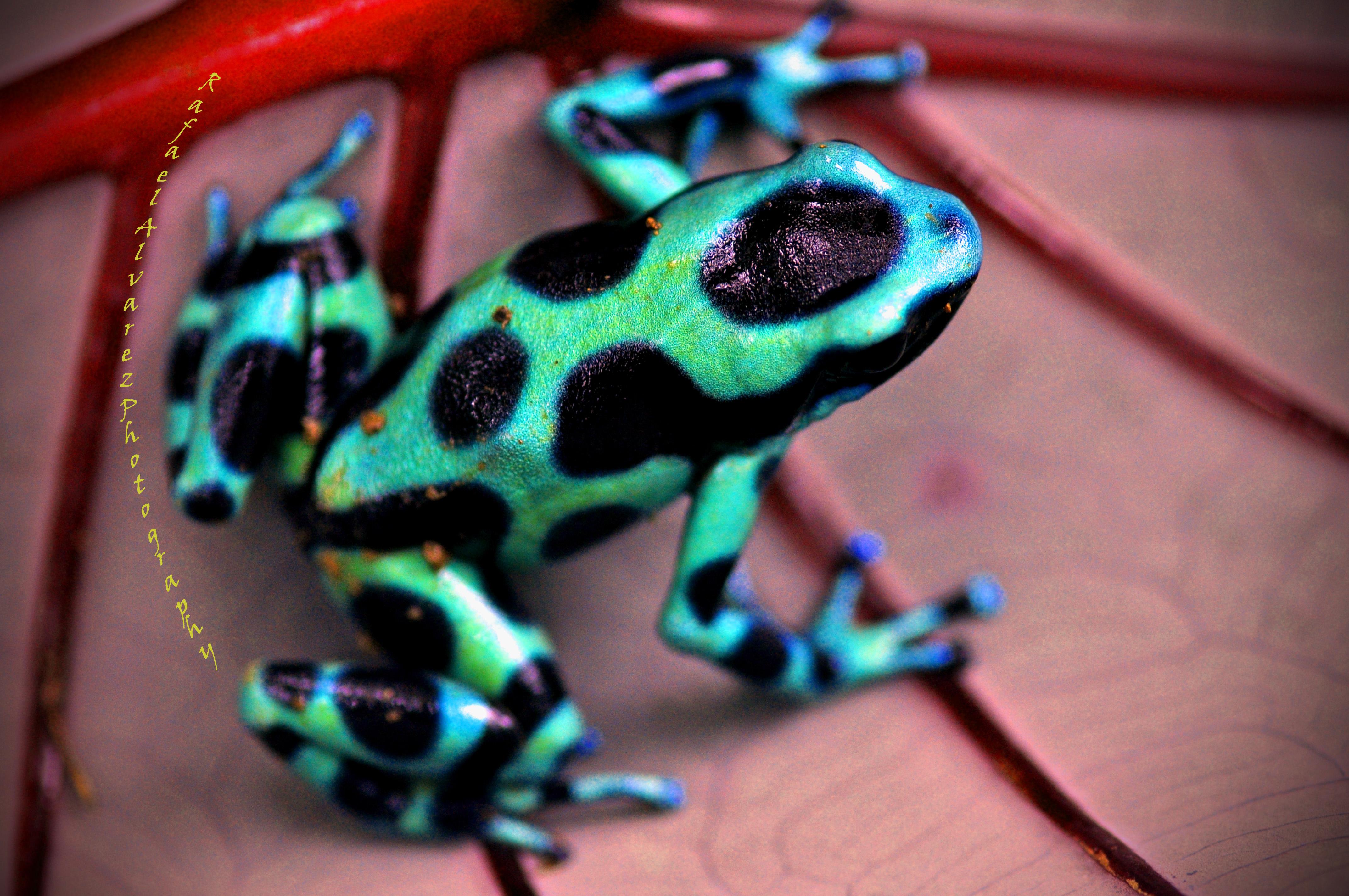 Green Dart Poison Frog - Costa Rica | Flickr - Photo Sharing!