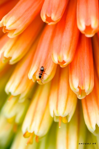 flowers red orange backyard ant portangeles redhotpoker torchlily kniphofiauvaria pokerplant getrdun nikkor105mmf28vrmicro nikond300 cordan2009
