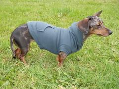 manchester terrier(0.0), dobermann(0.0), finnish hound(0.0), pinscher(0.0), toy manchester terrier(0.0), transylvanian hound(0.0), austrian black and tan hound(0.0), dog breed(1.0), animal(1.0), hound(1.0), dog(1.0), pet(1.0), polish hunting dog(1.0), carnivoran(1.0), terrier(1.0),